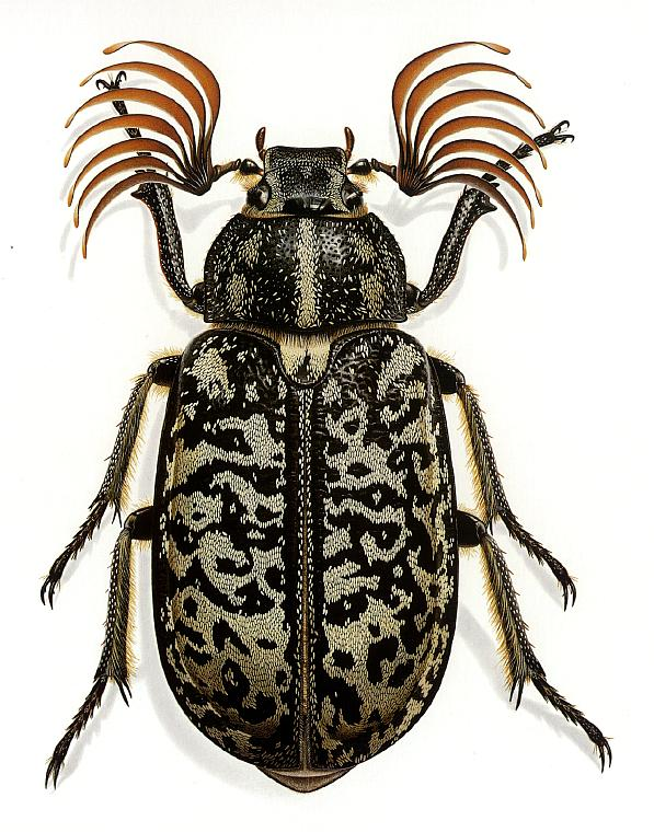 Fuller Beetle, also by Bernard Durin