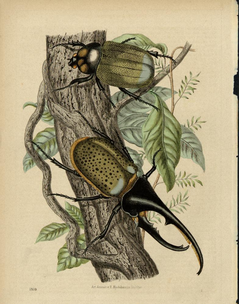 "Dynastes beetle from ""Buch Der Welt"" by Carl Hoffmann"