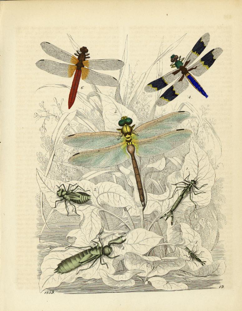 "Odonata from ""Buch Der Welt"" by Carl Hoffmann"