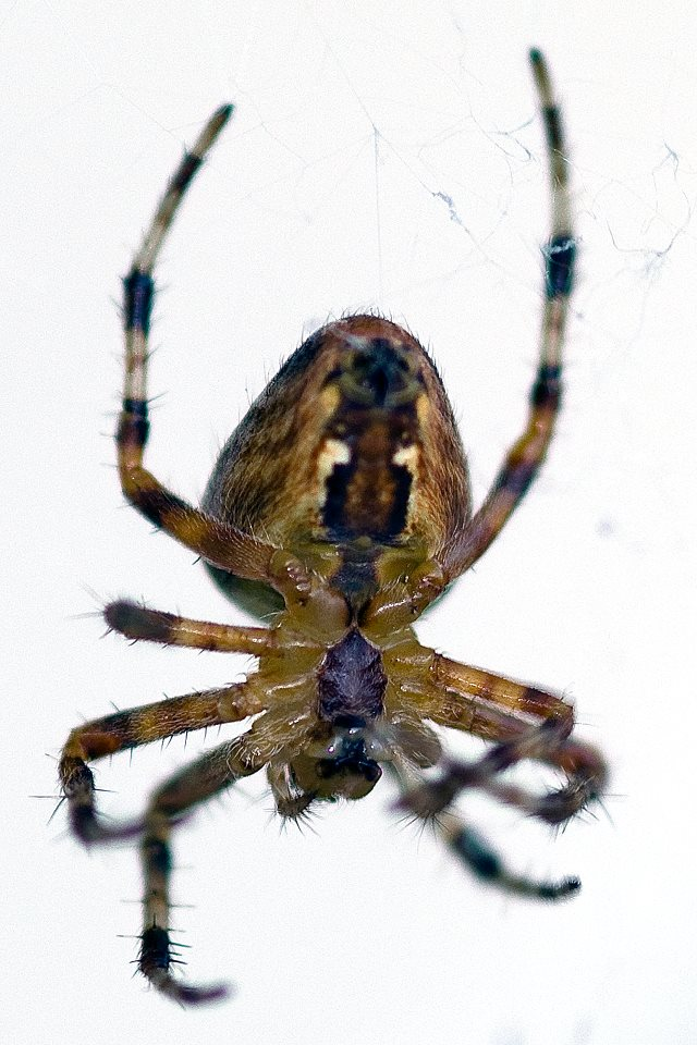 Araneus diademata, 2011, by Doug Swam